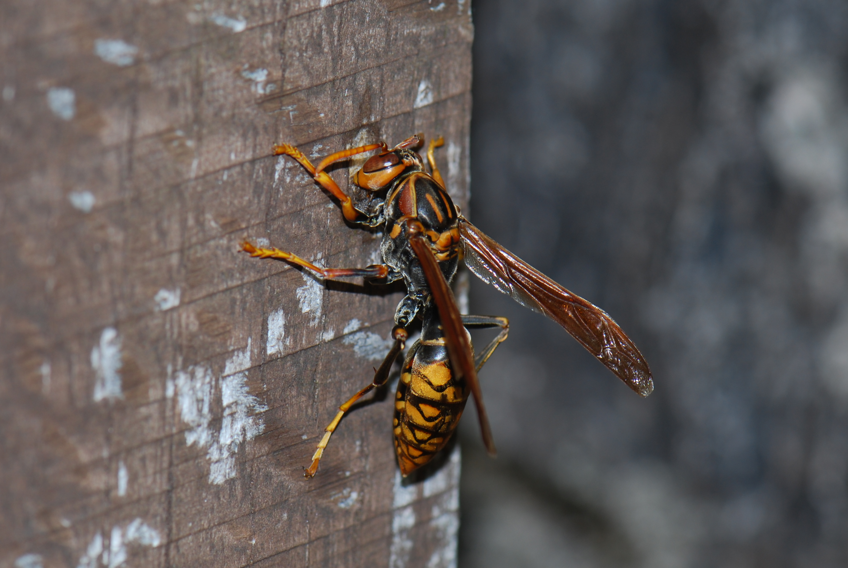 アシナガバチの画像 p1_36