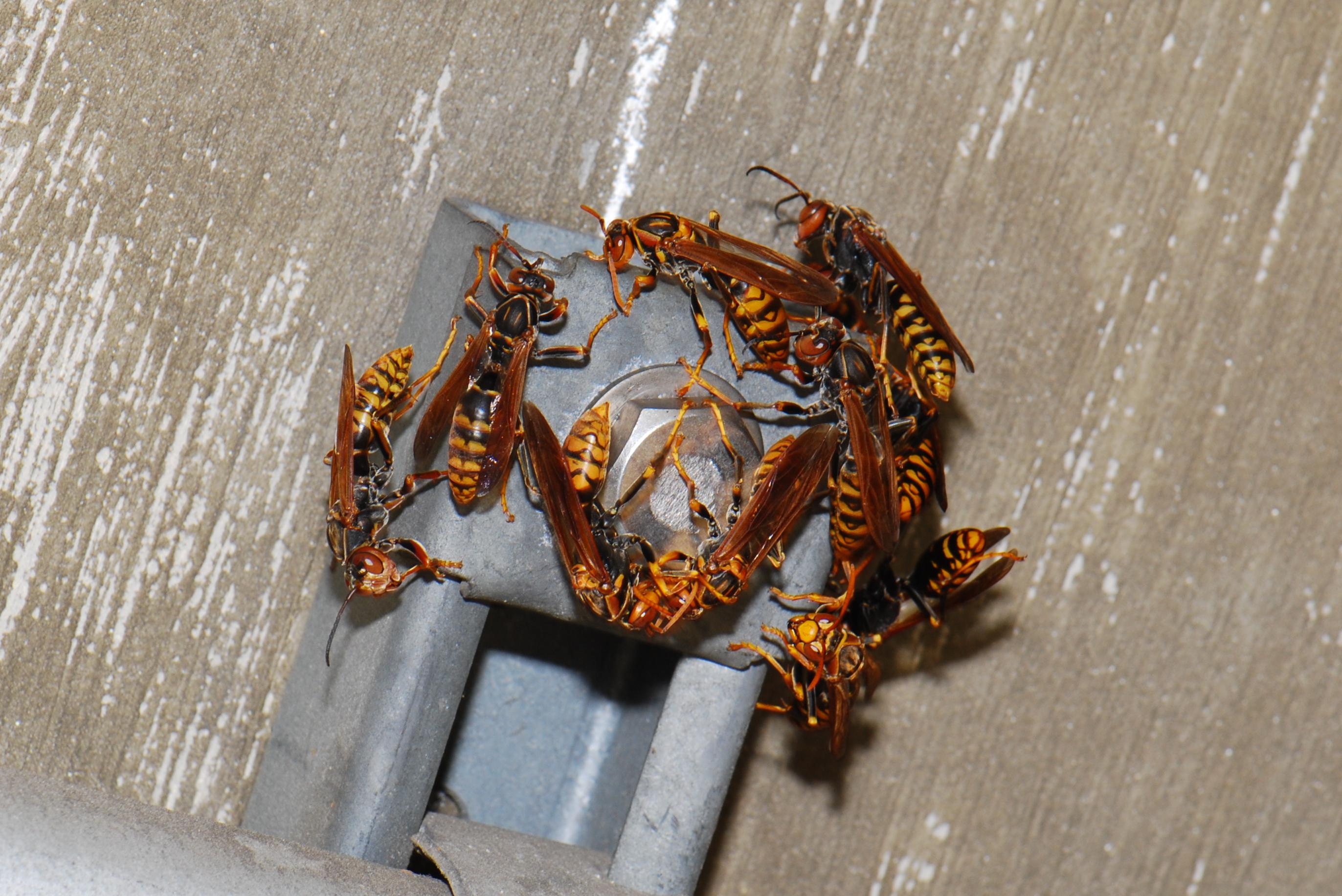 アシナガバチの画像 p1_35