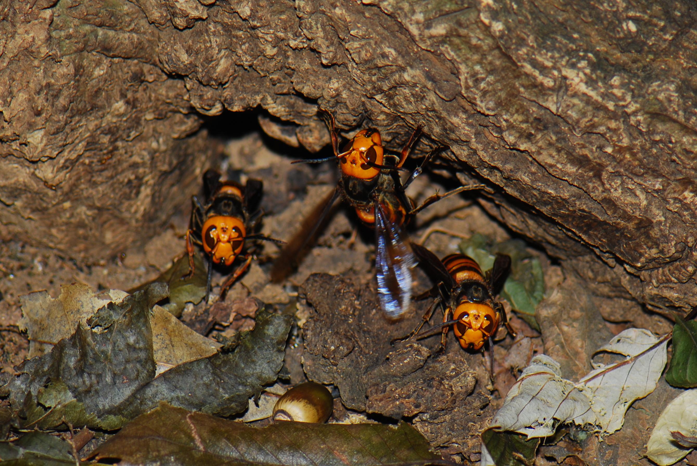 オオスズメバチ どこかでオオスズメバチが襲撃してニホンミツバチを敗走させたものと思われますが、